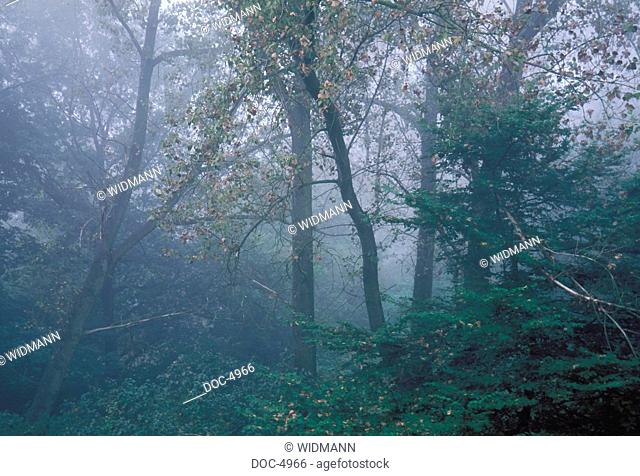 Old growth forest in the Fogs
