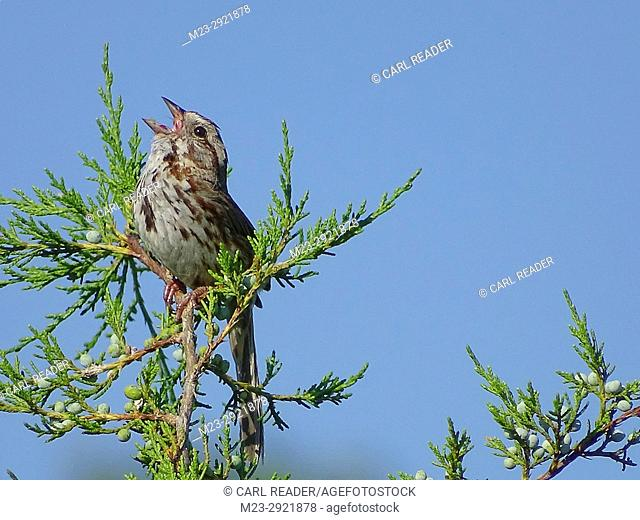 A song sparrow, melospiza melodia, sings out on a summer morning, Pennsylvania, USA