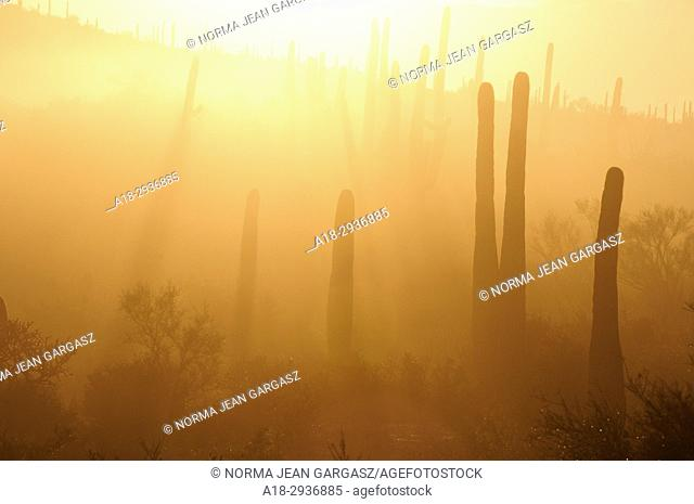 Early morning fog descends up on the saguaro cactus in the foothills of the Tucson Mountains of the Sonoran Desert, Tucson, Arizona, USA