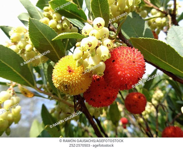 Irish strawberry tree (Arbutus unedo). Catalonia, Spain