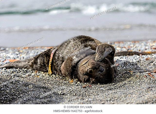 Antarctic, South Georgia Island, Prion island, Southern Elephant Seal (Mirounga leonina), new born baby