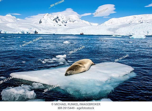Leopard Seal (Hydrurga leptonyx) lying on an ice floe, Cierva Cove, Chavdar Peninsula, Antarctica