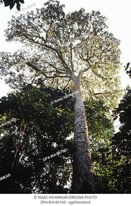 Tiber tree at Namdapha national park , arunachal pradesh , india