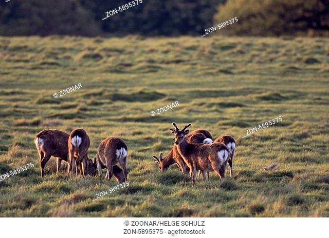 Unterart: Japan-Sika - Sikahirsche mit Bastgeweih im Abendlicht - (Japanischer Sikahirsch) / Subspecies: Japanese Sika Deer stags with velvet-covered antler in...