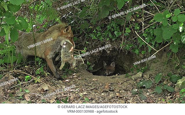 Red Fox, vulpes vulpes, Mother with a Kill, a Rabbit to Feed Cubs, Normandy, Real Time