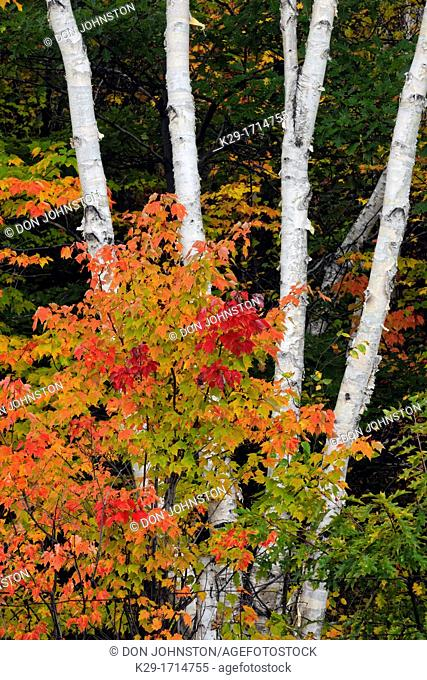 Red maple Acer rubrum Autumn foliage with white birch tree trunks, Greater Sudbury Lively, Ontario, Canada