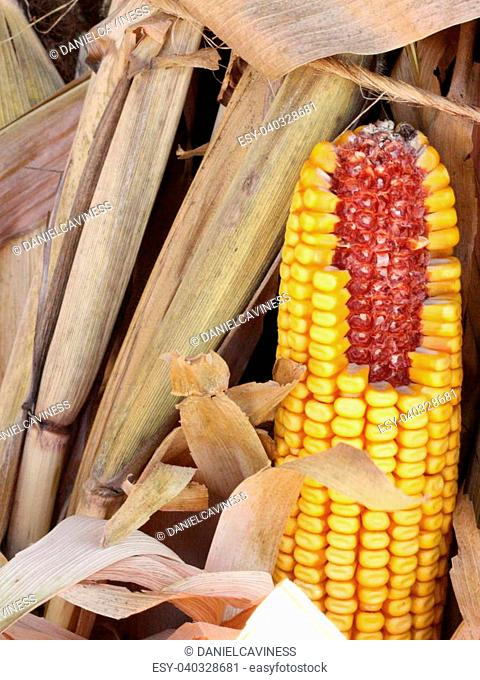 Corn in a bundle of stalks