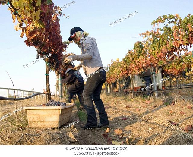 Farm workers harvest grapes for wine making near Paso Robles, California, USA