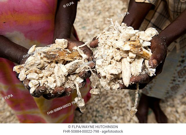 Cassava (Manihot sp.) women holding dried cassava, staple part of diet for many African people in rural areas, Kenya, June