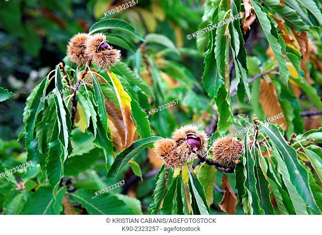 Chestnuts hangen on a tree with green leaves, Dolceacqua, Italy, Europe