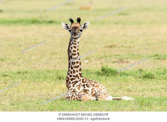 Kenya, Masai-Mara Game Reserve, Girafe masai (Giraffa camelopardalis), baby resting