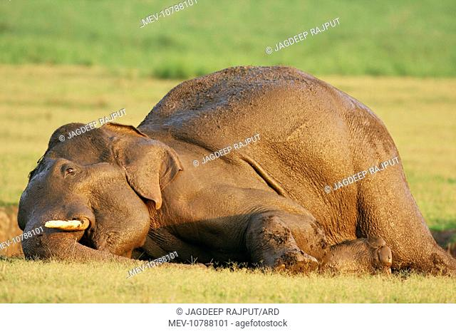 Masth Indian / Asian Elephant taking mud bath (Elephas maximus)