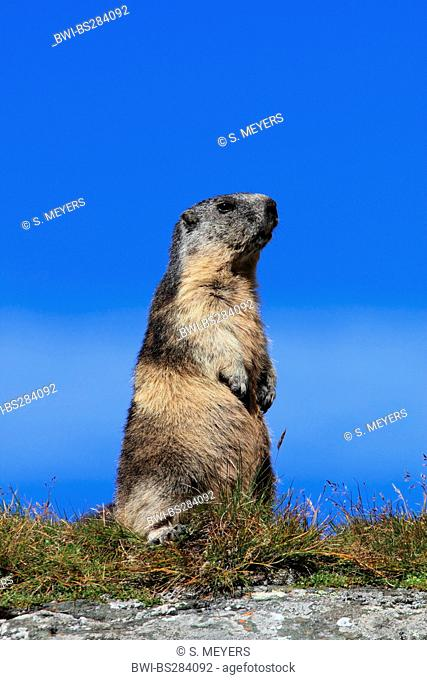 alpine marmot (Marmota marmota), standing errected in the grass, Austria, Hohe Tauern National Park, Grossglockner