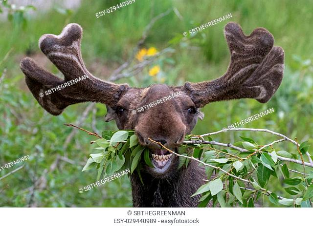 funny awkward moose eating branches