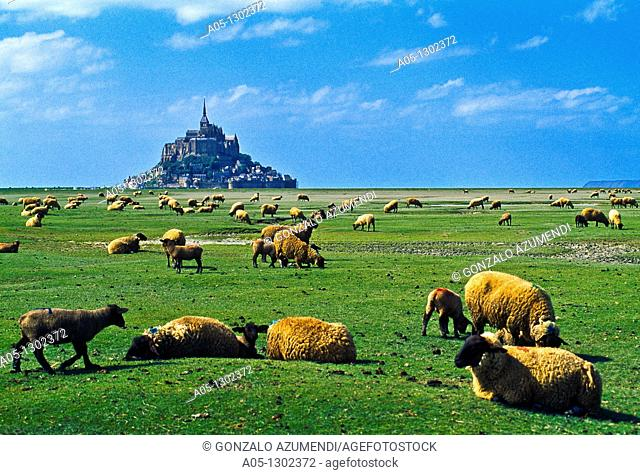 Sheeps gazing in a 'salted field' with Mont Saint Michel at the background. Normandy, France