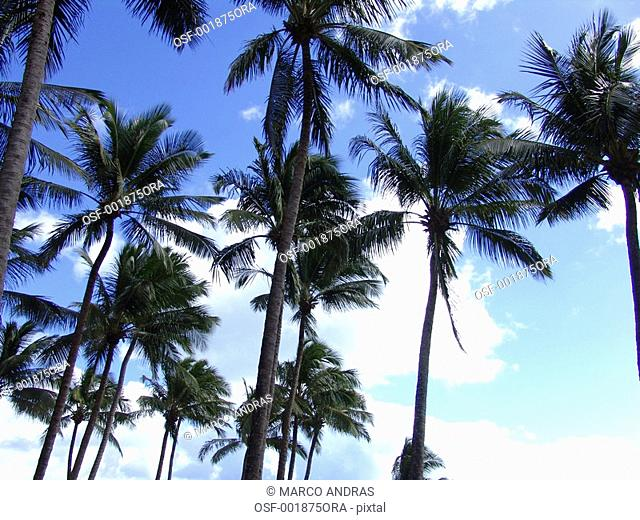 salvador big and high palm trees in the beach