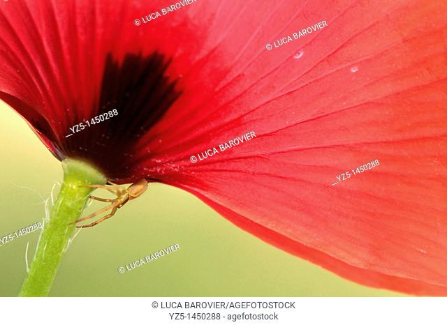 Papaver somniferum - Corn Poppy with little spider