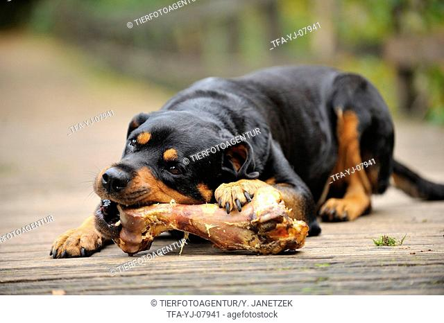 Rottweiler with bone
