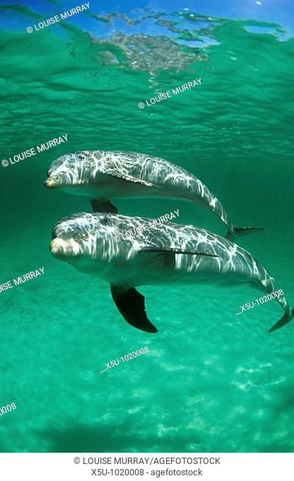 Atlantic bottlenose dolphin,Tursiops truncatus, swimming underwater, pod, mother, calf, baby  The calf will stay with its mother for 18 months until weaned