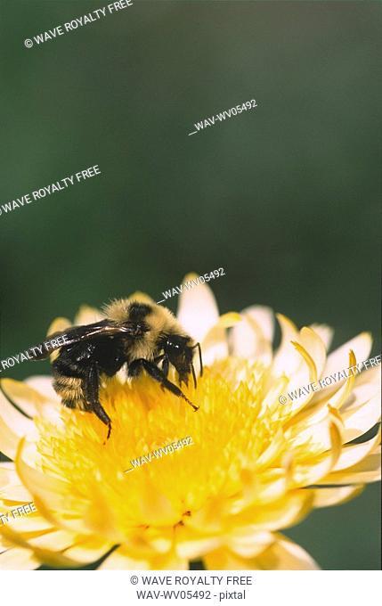 Bee on calendula