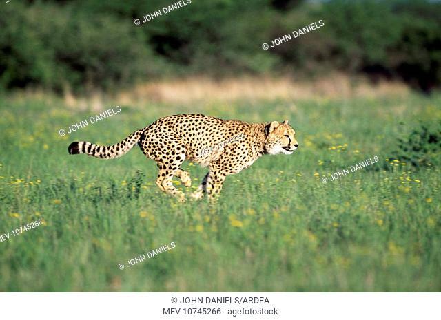 Cheetah - running (Acinonyx jubatus)