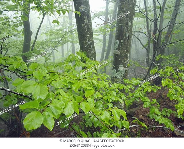 Misty beech forest (Fagus sylvatica). Springtime at Montseny Natural Park. Barcelona province, Catalonia, Spain