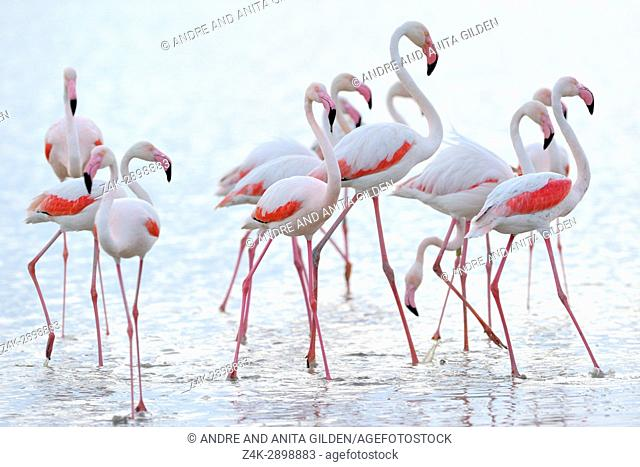 Greater Flamingo (Phoenicopterus roseus) group walking in water, Camargue, France