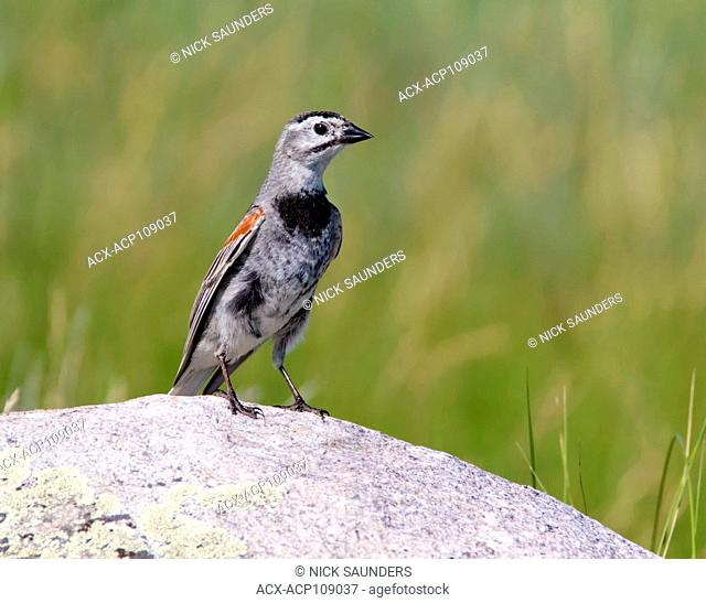 A male McCown's Longspur, Rhynchophanes mccownii , perched on a rock at Grasslands National Park, Canada