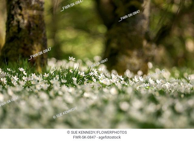 Anemone, Anemone nemorosa, A carpet of Wood Anemone growing outdoor