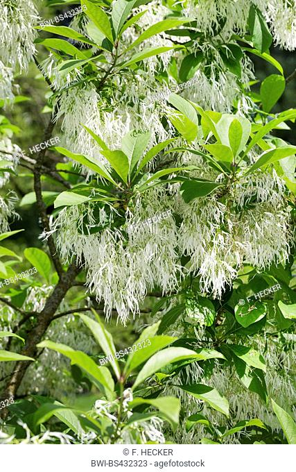 Amaerican Fringe Tree, White fringetree (Chionanthus virginica, Chionanthus virginicus), blooming