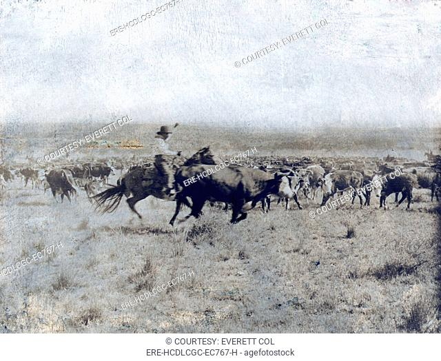 A Texas cowboy on horseback separating a cow from the rest of the herd on the LS range in Texas. photo by Erwin E. Smith, 1907