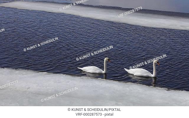 Two Mute swans (Cygnus olor) are swimming along a gap in the ice that is still covering this bay of the Baltic Sea in Sweden in early spring