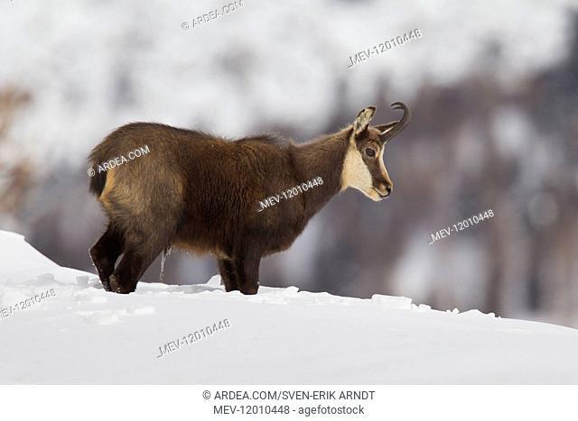 Chamois - buck in winter - Italy