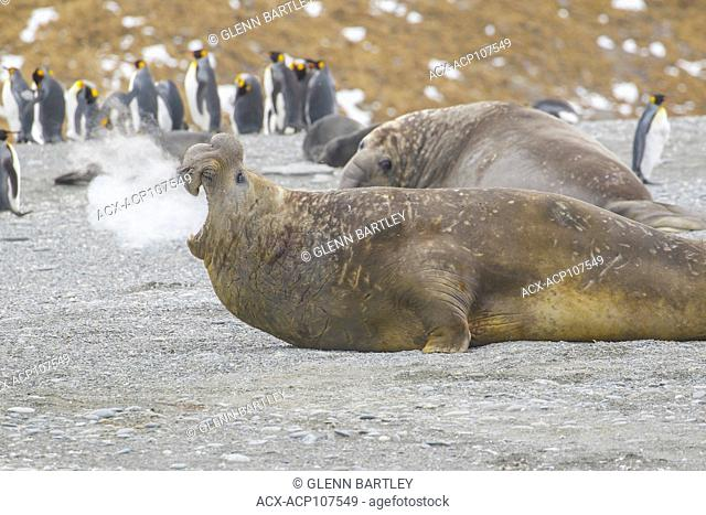 Elephant Seal, Mirounga angustirostris vocalizing while hauled out on a beach