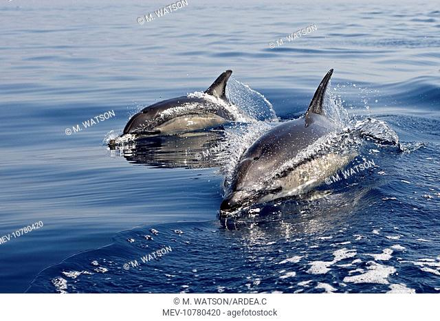 Common Dolphin - two swimming in the strait of Gibraltar (Delphinus delphis)