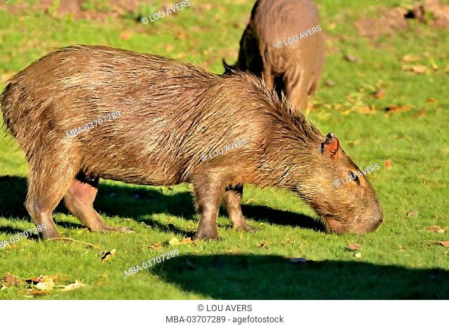 Brazil, Pantanal, water pigs, Hydrochoerus hydrochaeris, eat, graze