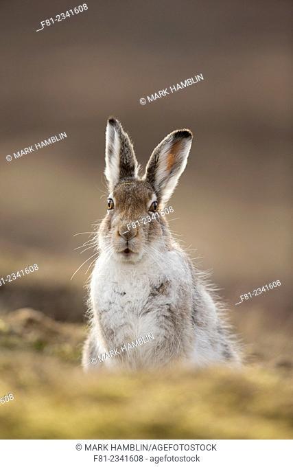 Mountain Hare (Lepus timidus). Scotland, United Kingdom