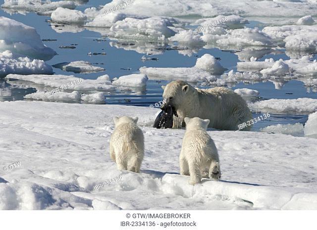 Female Polar bear (Ursus maritimus) hunting a ringed seal (Pusa hispida or phoca hispida) and accompanied by two cubs, Svalbard Archipelago, Barents Sea, Norway