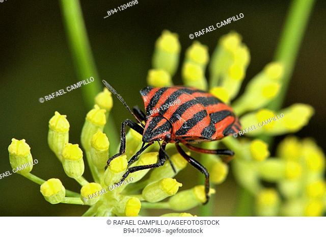 Striped shield bug (Graphosoma lineatum, fam. Pentatomidae). Osseja, Languedoc-Roussillon, Pyrenees Orientales, France