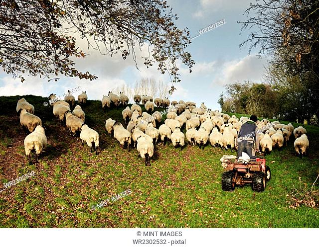 A farmer driving a quadbike herding a flock of sheep over the brow of a hill