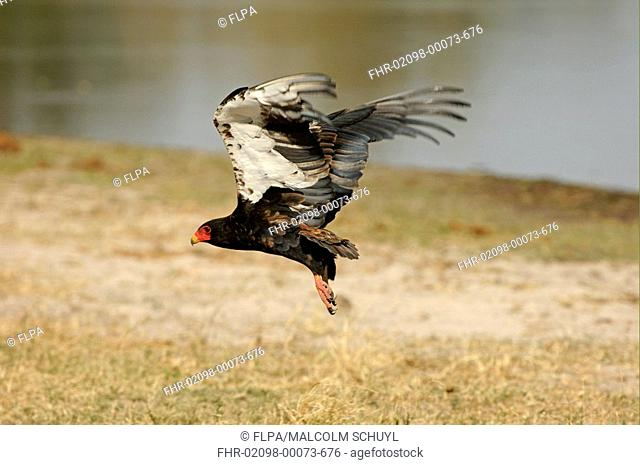 Bateleur Eagle Theratopius ecaudatus adult in flight, Kwai, Botswana