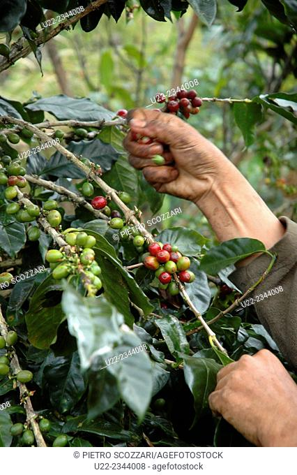 Bolaven Plateau, Laos: coffee picking