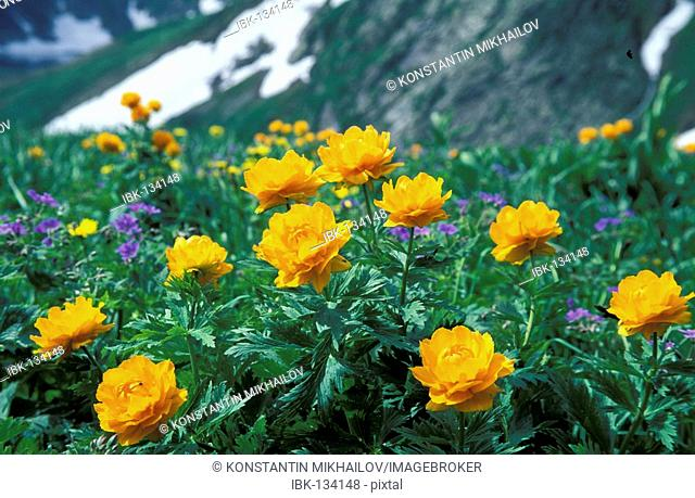 Asian Globe flowers Trollius asiaticus. Altai-Sayan region, subalpine meadows of Siberia