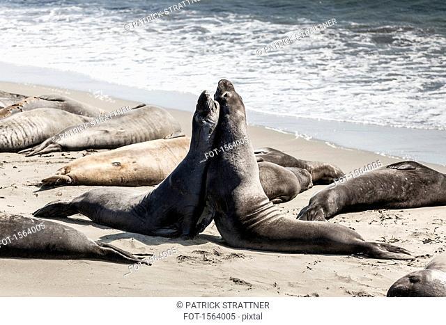 Elephant seals fighting on seashore at beach