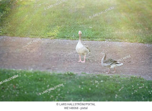 Two greylag geese walking on footpath in park, Sweden