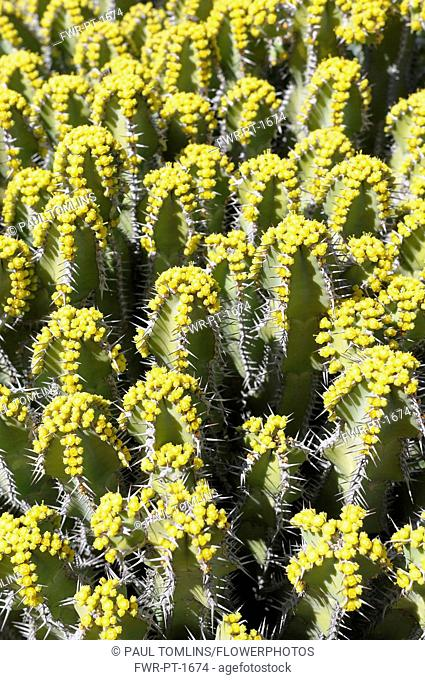 Euphorbia polyacantha, Mass of spiky plants growing outdoor.-