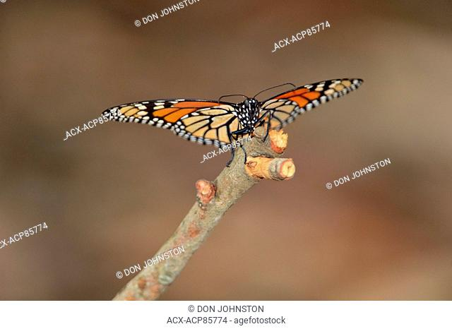 Monarch (Danaus plexippus) Winter specimen resting on tree branch, Pismo Beach State Park, California, USA