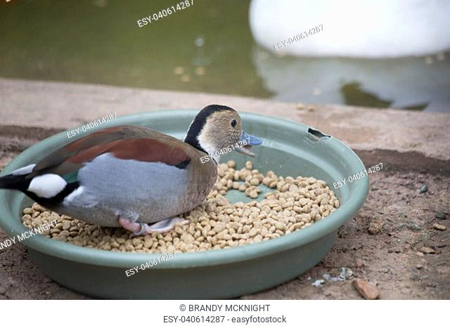 Male ringed teal duck (Callonetta leucophrys) eating duck feed