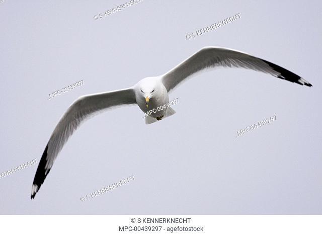 Ring-billed Gull (Larus delawarensis) in breeding plumage flying, Prairie du Chien, Wisconsin