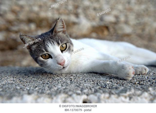Cat, Pigadia, Karpathos, Aegean Islands, Aegean Sea, Greece, Europe